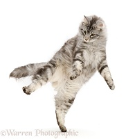 Silver tabby cat jumping up