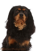 Black-and-tan Cavalier King Charles Spaniel