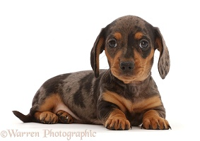 Dachshund puppy, lying with head up