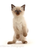 Ragdoll x Siamese kitten standing with paws held loose