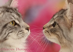 Silver tabby cats face-to-face
