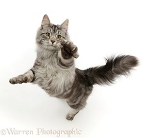 Silver tabby cat jumping up and swiping