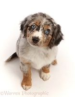 Tricolour merle Mini American Shepherd puppy