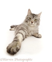 Silver tabby cat with outstretched paw
