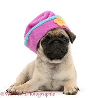 Fawn Pug pup wearing a silly hat