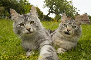 Silver tabby cats in the garden doing a Cat Selfie