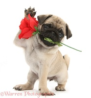 Fawn Pug pup and rose