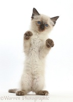 Ragdoll x Siamese kitten standing with paws up