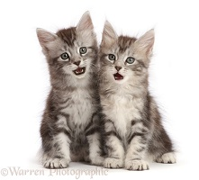 Silver tabby kittens with funny expressions, open mouths