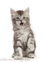 Silver tabby kitten with funny expression, open mouth