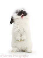 Black-and-white bunny rabbit, standing and yawning