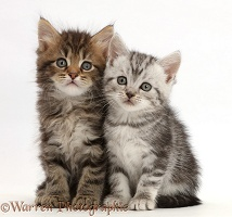 Brown and Silver tabby kittens, sitting side-by-side