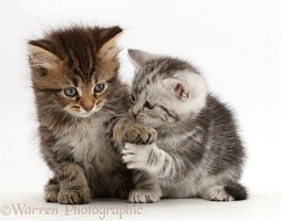 Brown and Silver tabby kittens, holding paws