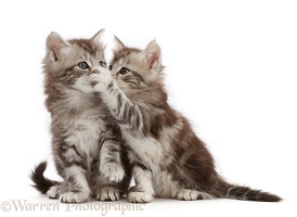 Silver tabby kittens, one with paw on the other's mouth