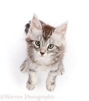 Silver tabby kitten sitting and looking up