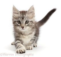 Playful silver tabby kitten
