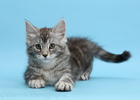 Silver tabby kitten, on blue background