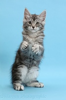 Silver tabby kitten, with raised paws, on blue background