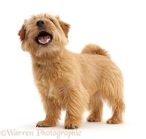 Norfolk Terrier dog, mouth open