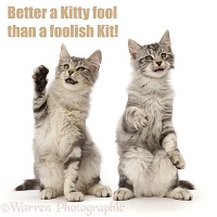 Shakespeare cat - Better a Kitty Fool, than a Foolish Kit