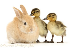 Young Sandy Lop rabbit and Mallard ducklings