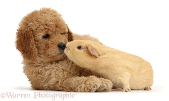 Cute F1b Goldendoodle puppy and yellow Guinea pig