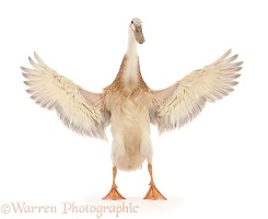 Indian Runner Duck, flapping