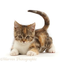 Tortoiseshell-tabby kitten, 10 weeks old