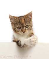 Tortoiseshell-tabby kitten, 10 weeks old, paws over, clasping