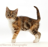 Tortoiseshell-tabby kitten walking across