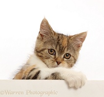 Tortoiseshell-tabby kitten, 10 weeks old, paws over