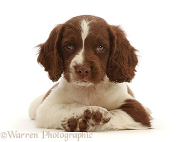Working English Springer Spaniel puppy, with crossed paws