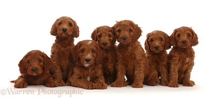 Seven Australian Labradoodle puppies in a row