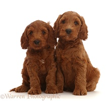 Two Australian Labradoodle puppies