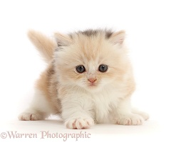 Cream tortoiseshell kitten, 5 weeks old