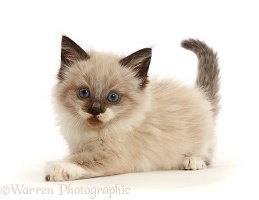 Ragdoll-cross kitten, 6 weeks old