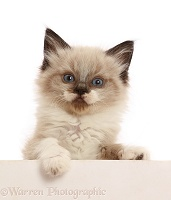 Ragdoll-cross kitten, 6 weeks old, paws over