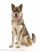 Husky-cross dog sitting