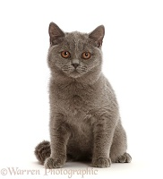 Blue British Shorthair kitten