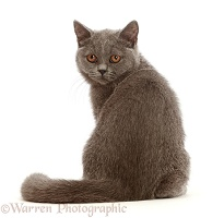 Blue British Shorthair kitten, looking over shoulder