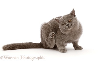 Blue British Shorthair kitten, scratching