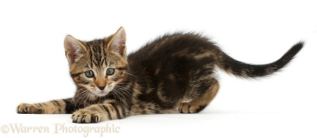Playful tabby kitten