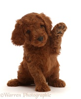 Australian Labradoodle puppy with raised paw, waving