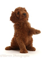 Australian Labradoodle puppy with raised paw
