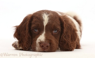 Working English Springer Spaniel puppy, chin on floor