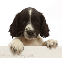 Working English Springer Spaniel puppy, with paws over