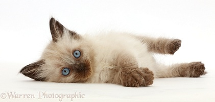 Ragdoll-cross kitten, 6 weeks old, lying on her side