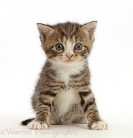 Tabby kitten with big eyes, sitting