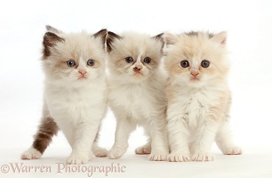 Three Persian-cross kittens, 5 weeks old