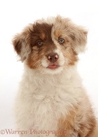 Red merle Cadoodle puppy, 10 weeks old